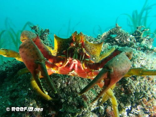 Calling All Kelp Crabs